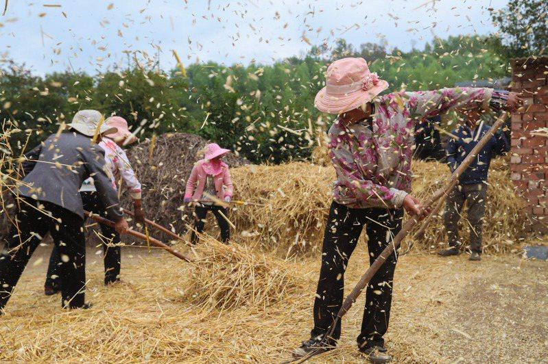 圖為甘肅省定西市渭源縣元古堆村,村民日前忙著脫麥子。新華社