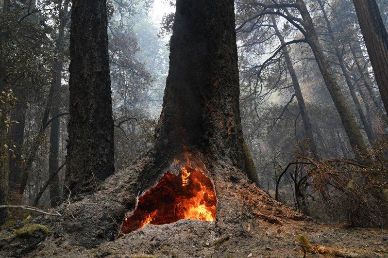 大盆地紅木州立公園內有兩千年歷史的紅木多數都在這場野火中倖存,有「森林之母」之稱的美洲杉巨樹也依舊聳立。美聯社