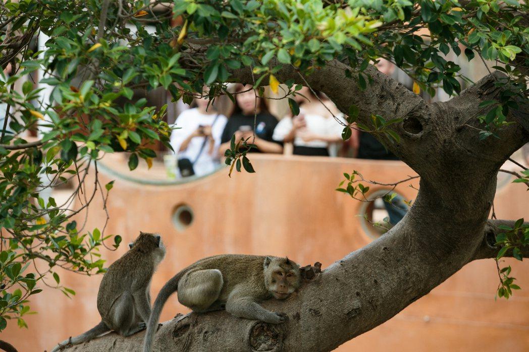 觀看動物很療癒,但更要看見牠們的哀愁。圖為新竹市立動物園的馬來猴。記者曾原信/攝...