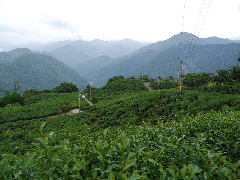 高雄藤枝山區是產茶區,「烏龍茶步道」沿途可見翠綠茶樹。記者徐白櫻/攝影