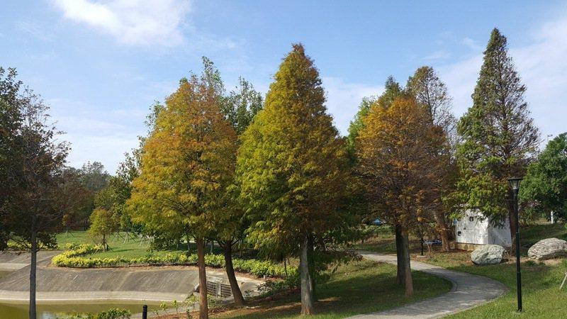 國家衛生研究院1號門旁的綠帶區種有多株落羽松,每年入冬後轉紅,景致迷人。記者胡蓬生/ 攝影