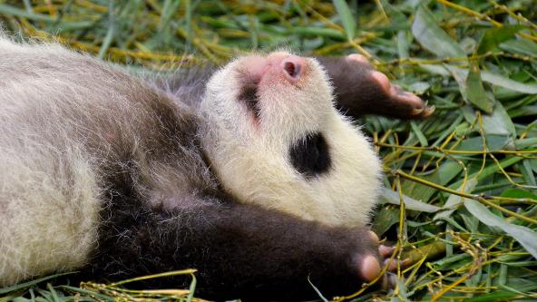 大貓熊「圓仔妹」名字最終命名為「圓寶」。 圖/北市動物園提供