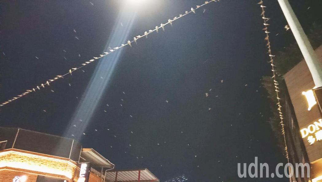 最近台東市安慶街、中華路、新生路上的電纜線停滿南遷的家燕。記者羅紹平/攝影