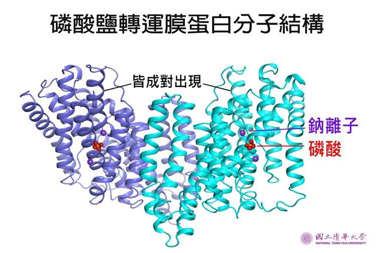 清華大學生資所教授孫玉珠研究團隊發現磷酸鹽轉運膜蛋白是雙原體,並確認兩個鈉離子及...