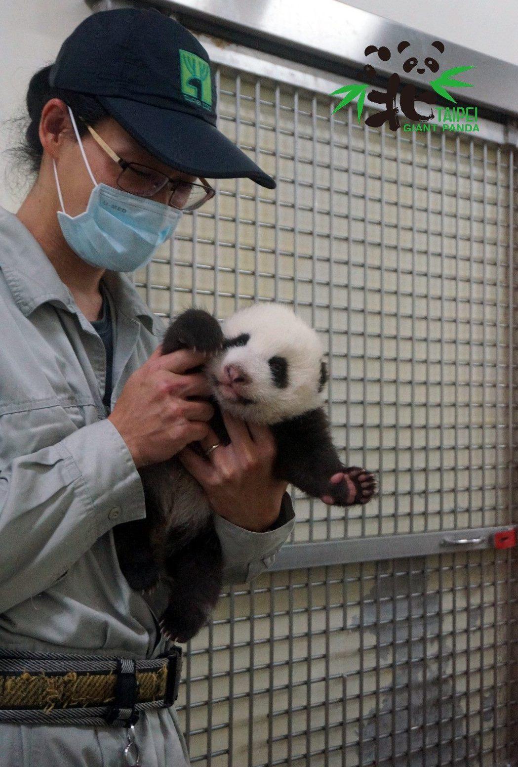 保育員除了協助餵食外,也要注意貓熊身體健康,圖為「圓寶」完成健檢。圖/北市動物園...
