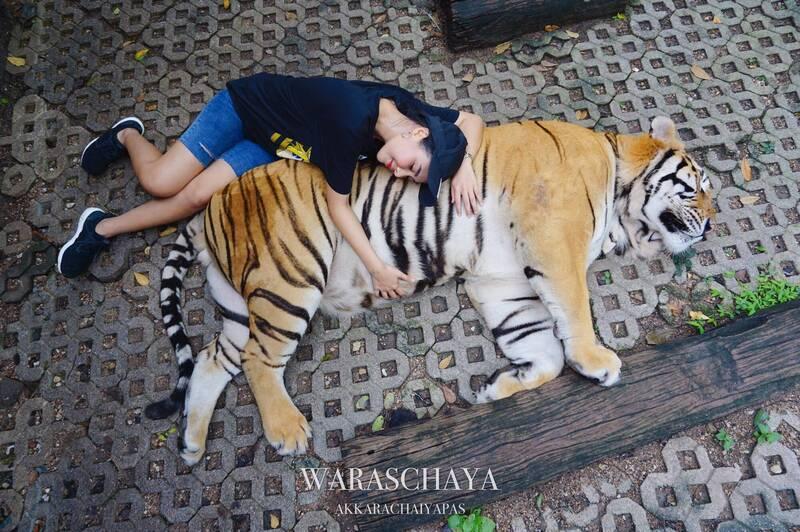瓦拉夏亞8月26日來到老虎王國時,不但觸摸老虎還大膽地趴在老虎肚子上合影。FAC...
