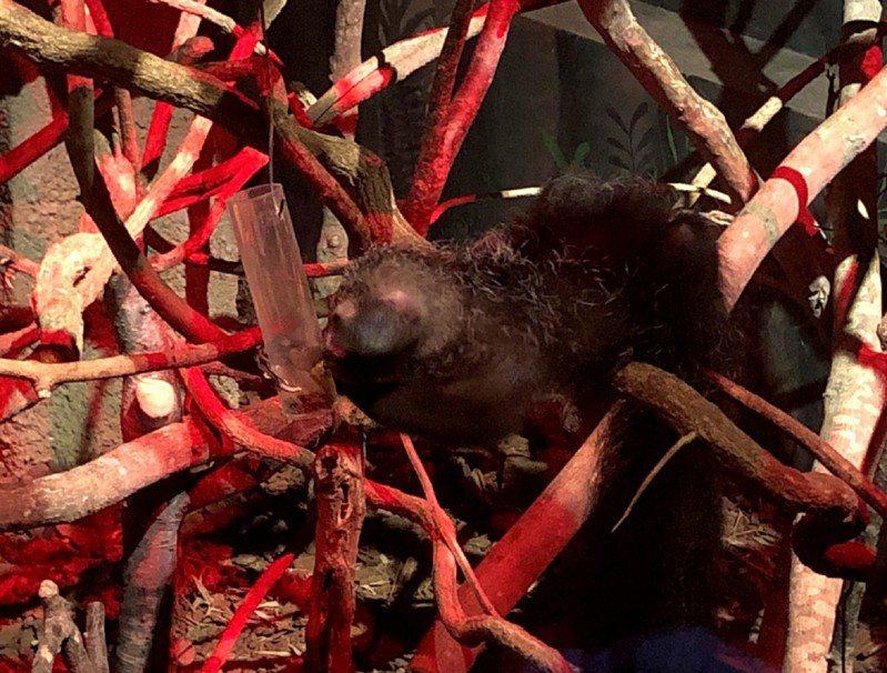 今年暑假,北市動物園保育員和實習生們一同發想,為指猴製做了行為豐富化設施。圖/台北市立動物園提供