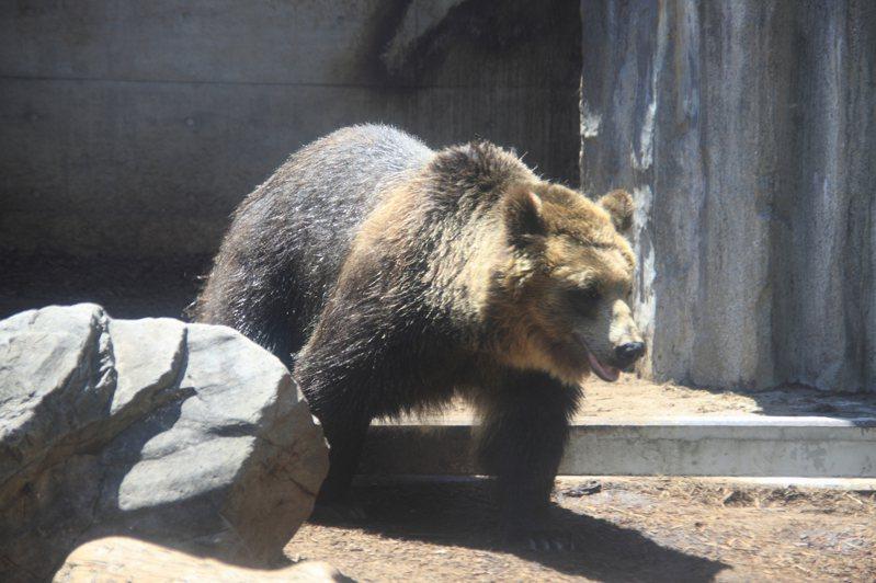 北海道常有野生熊隻出沒。示意圖,非新聞當事動物。圖片來源/ingimag