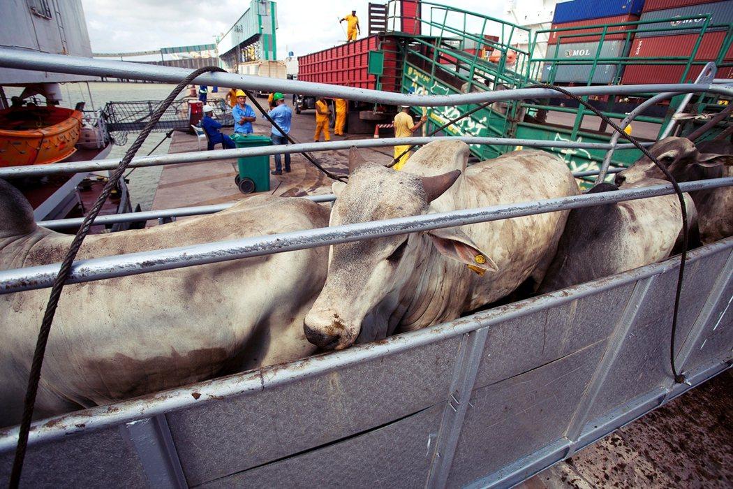 示意圖。圖為巴西牛隻的活體運輸。 圖/路透社