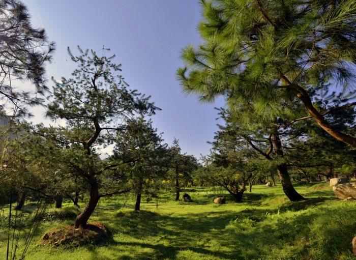 200棵松齡40歲的五葉松林立於山莊。 圖/取自拂水山莊官網