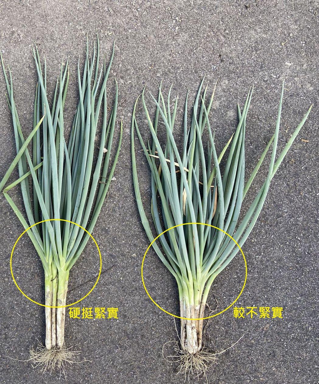施用台肥金旺特43號有機質複合肥料青蔥直立硬挺且單叢生長旺盛,產量提升5%  台...