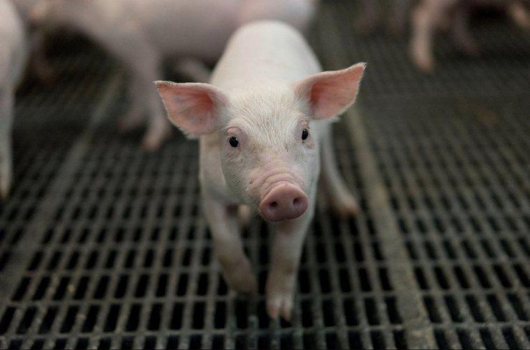 美國豬即將開放進口。圖/本報資料照片
