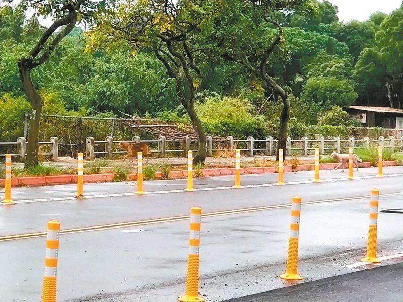 新北市淡海新市鎮流浪犬眾多,有時會出現追車、對路人吠叫的狀況。記者吳亮賢/攝影