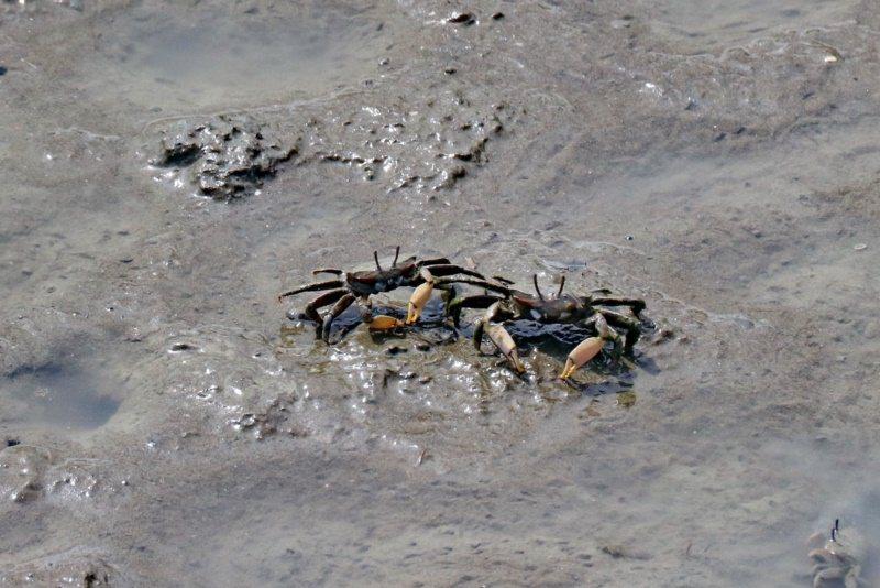 賞蟹步道可以看到為數眾多的螃蟹及彈塗魚等濕地生物。 圖/陳威任 攝影