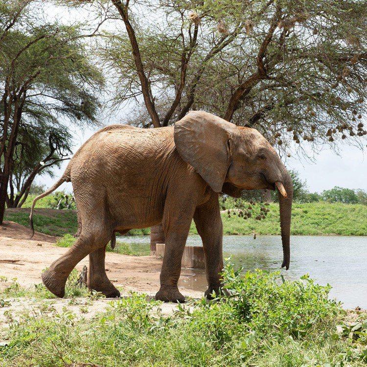 香緹卡協助保育非洲大象。圖/香緹卡提供