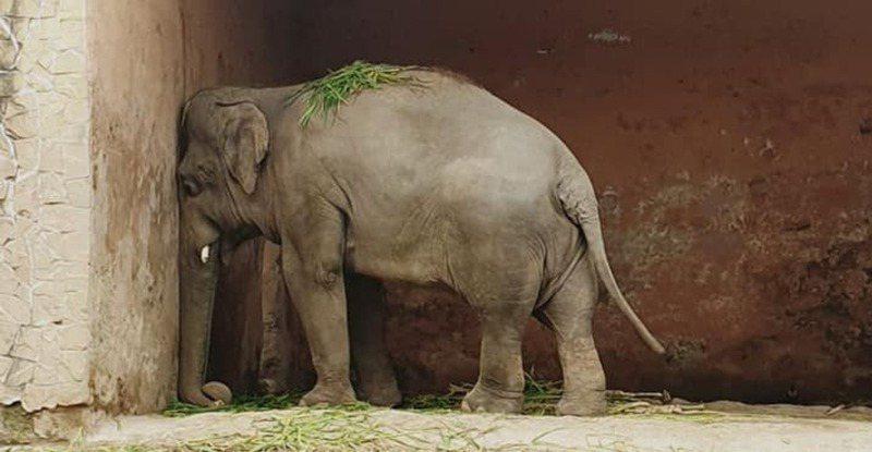 卡萬被困在動物園內長達35年,且長期遭園方疏忽照顧。(Facebook圖片)