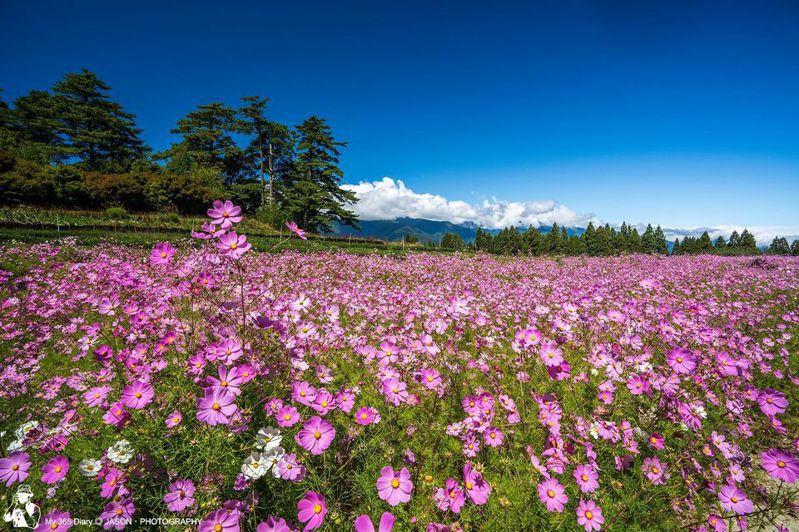 福壽山農場2019年滿開的波斯菊十分壯觀。圖/網友鄭傑森授權