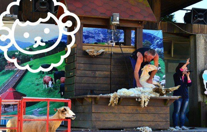 綿羊秀。 圖/清境農場提供