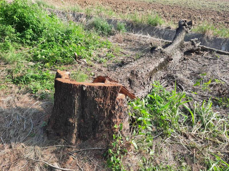 嘉義縣太保市嘉64線2棵7、80年的木麻黃樹日前遭公所砍除,引起民眾不滿。記者陳玫伶/攝影