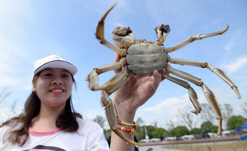 2020年蘇州陽澄湖大閘蟹將於9月21日開捕。(新華社資料照)