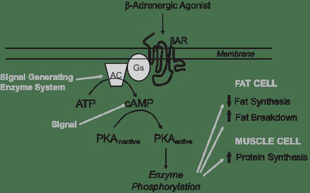 使用萊克多巴胺(Ractopamine)可以活化β1和β2的交感神經受器(如圖)...