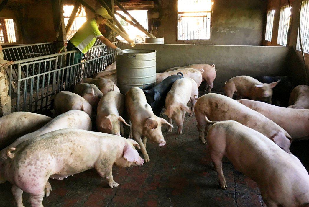 農委會上月底預告修正相關動物用藥規定,引發外界質疑將開放國內養豬使用萊克多巴胺,...