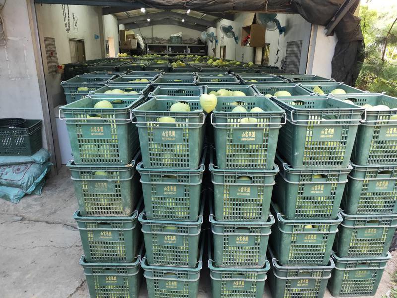 花壇山富果園這幾天也展開文旦柚分級,即將出貨。圖/山富果園提供