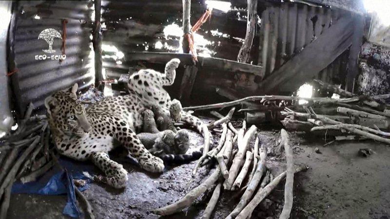 跑到農寮躲雨的母豹替4隻剛出生的幼豹餵奶。法新社/ECO ECHO FOUNDATION