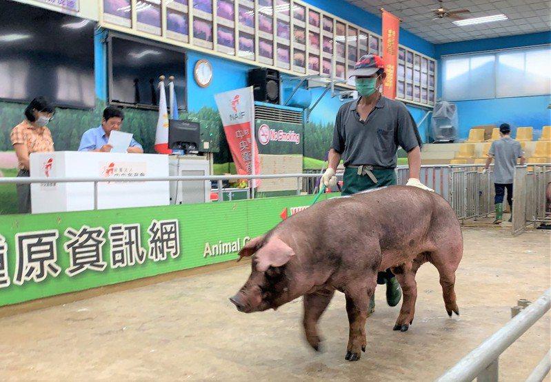 台灣每年進行多場種公豬評比及拍賣,透過智慧科技協助,可提高量測準確度,增加豬隻瘦肉改善。記者吳淑玲/攝影