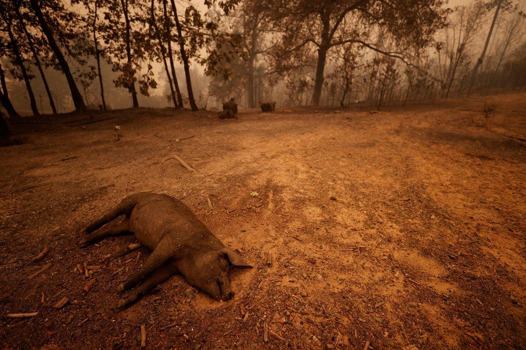 加州 Berry Creek 山火的受害動物。 圖/路透社