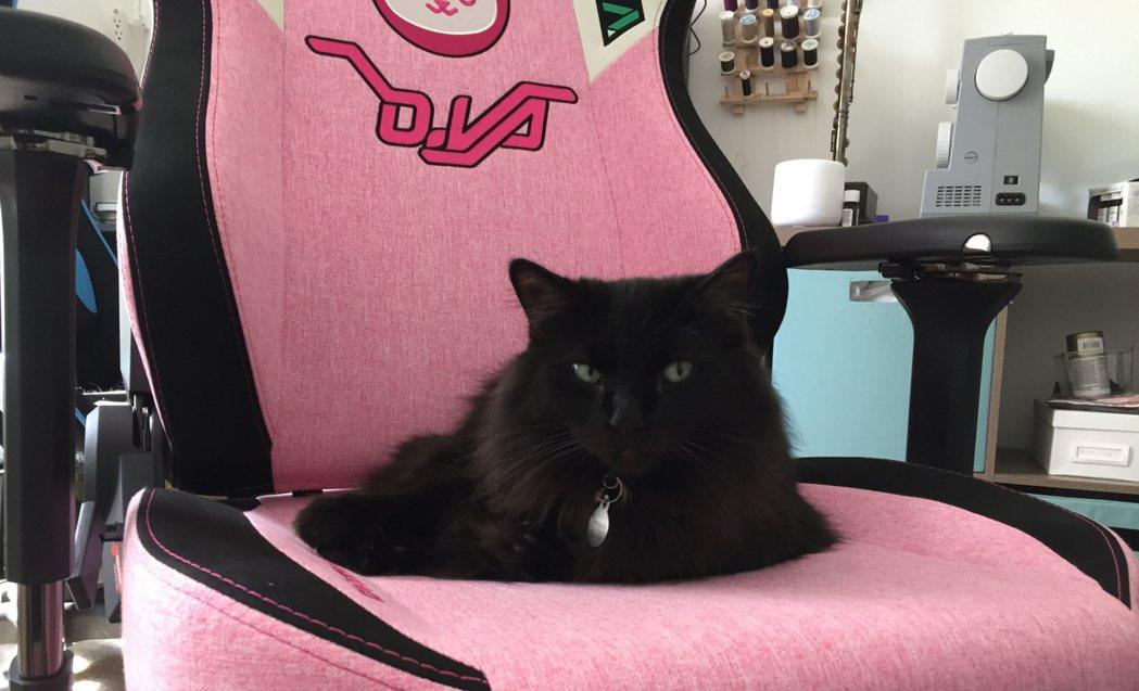 Gray和牠的新歡——粉紅電競椅/圖片截自Twitter@Vahn16