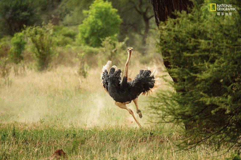 鴕鳥是世界上跑得最快的兩足動物,曾被記錄到以近70公里時速衝刺,長距離的奔跑也可達時速48公里。牠們跑這麼快有何祕訣?巨大的腿肌、精瘦的長腿、富彈性的肌腱,以及能夠提供良好抓地力的特大號腳爪。 攝影:克勞斯.尼格 K L A U S N I G G E