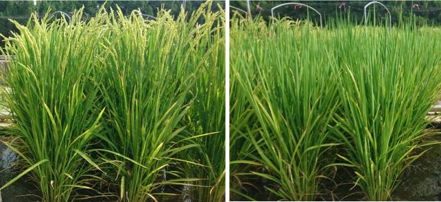 水稻新品種「臺南19號」(左)較目前主要栽培品種「臺南11號」(右),提早20天收穫,有助於節省灌溉水資源。圖/台南區農改場提供