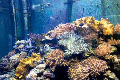珊瑚王國館的軟珊瑚缸。 圖/奧秘海洋提供