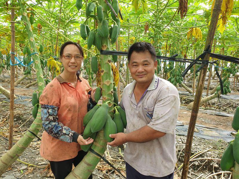 潮州果農鍾松峯(右)與妻子黃惠珍(左)今年順利讓「不倒翁木瓜」順產。記者陳弘逸/翻攝