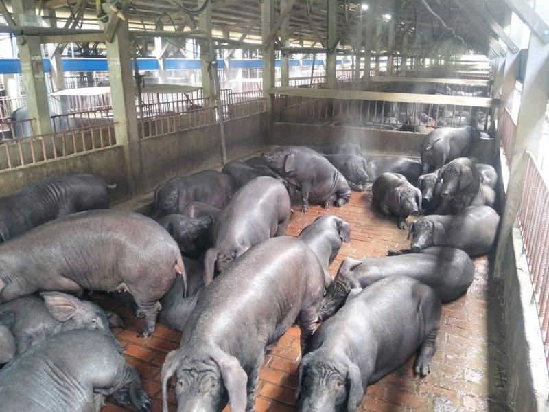 桃園市弘智畜牧場為桃園黑毛豬(見圖)飼養大戶,第一座養豬場沼氣發電啟用,每天發電1200度、可供80個家庭用電。記者曾增勳/攝影
