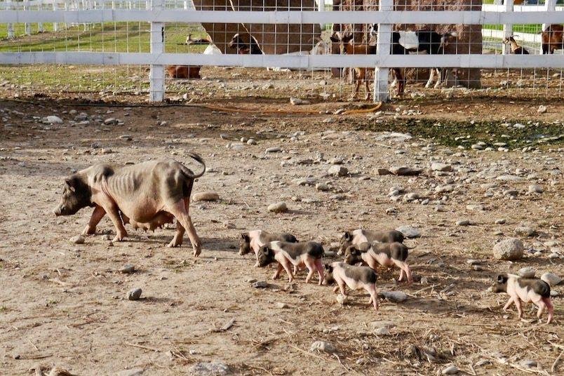 目前崇德瑩農場裡,唯的一隻麝香豬媽媽,而公的就有四隻。小小豬一直跟著媽媽後面,好可愛