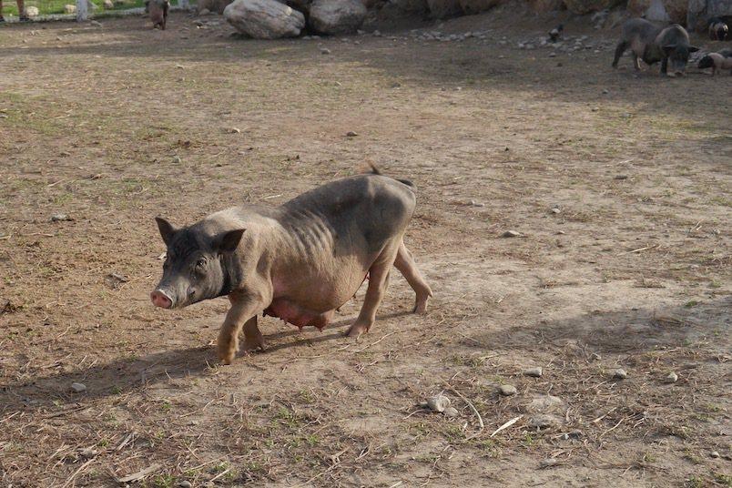 目前崇德瑩農場裡,唯的一隻麝香豬媽媽,而公的就有四隻。