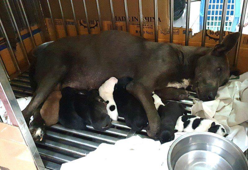 台灣動物緊急救援小組到南投大鞍林道三叉崙支線附近,營救一隻雙前腳掌都被捕獸夾切斷的懷孕犬,牠最後在動物醫院忍痛產下7隻小狗,還負傷哺乳。圖/台灣動物緊急救援小組提供