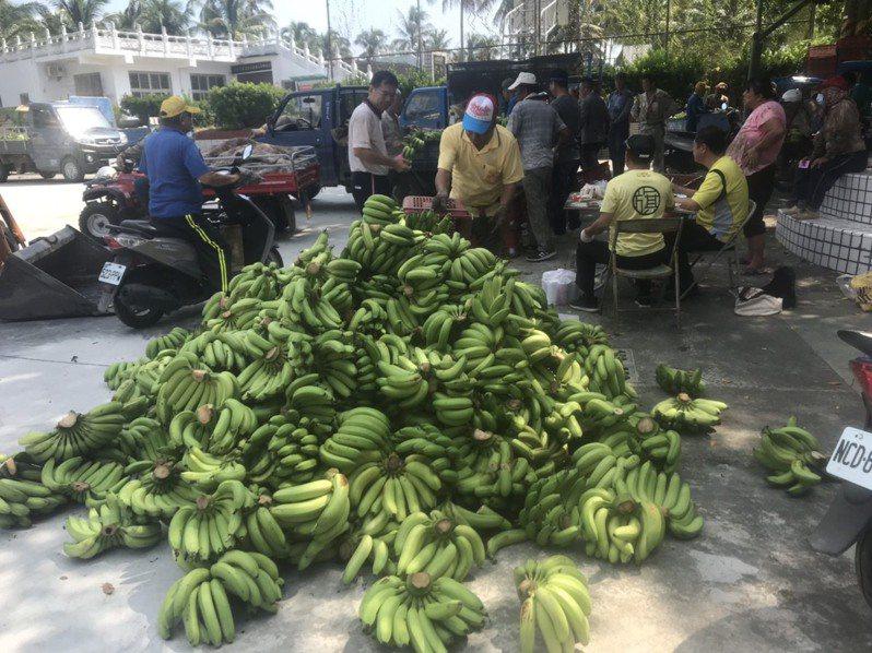 農委會啟動香蕉次級品去化收購,以每公斤5元收購香蕉當肥料。記者徐白櫻/攝影