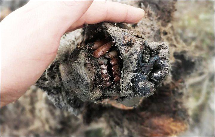 馴鹿牧民在利亞霍夫群島發現保存完好的冰河時期洞熊殘骸。取自推特(@siberian_times)