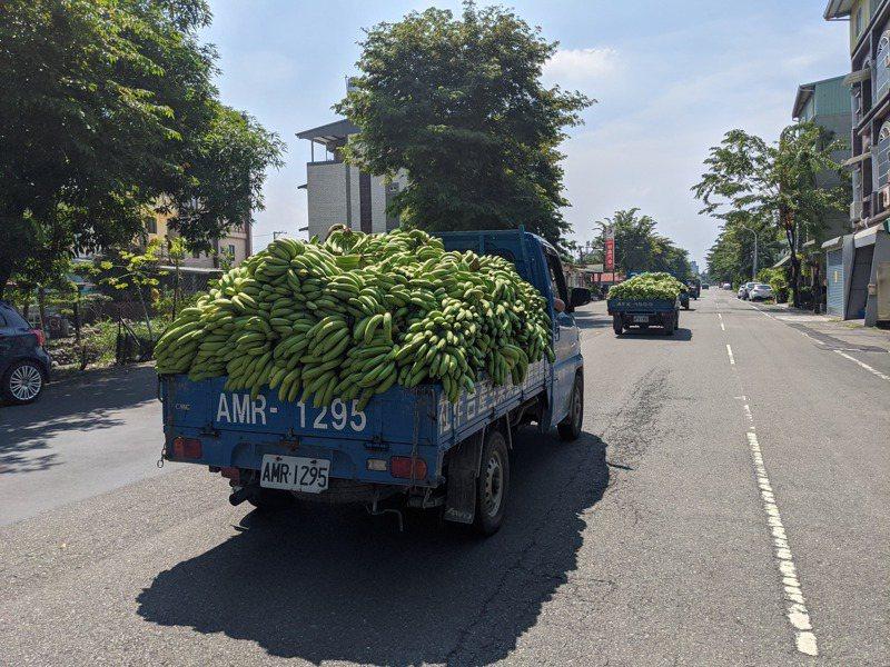 屏東蕉農一早就載香蕉到合作社。記者陳弘逸/攝影