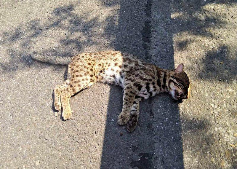 石虎是保育動物,卻常遭路殺。 圖/聯合報系資料照片