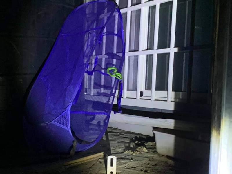 太平地區傳出蛇竄入住家咬傷人事件,居民在窗戶邊捕獲赤尾青竹絲。圖/李天生議員提供