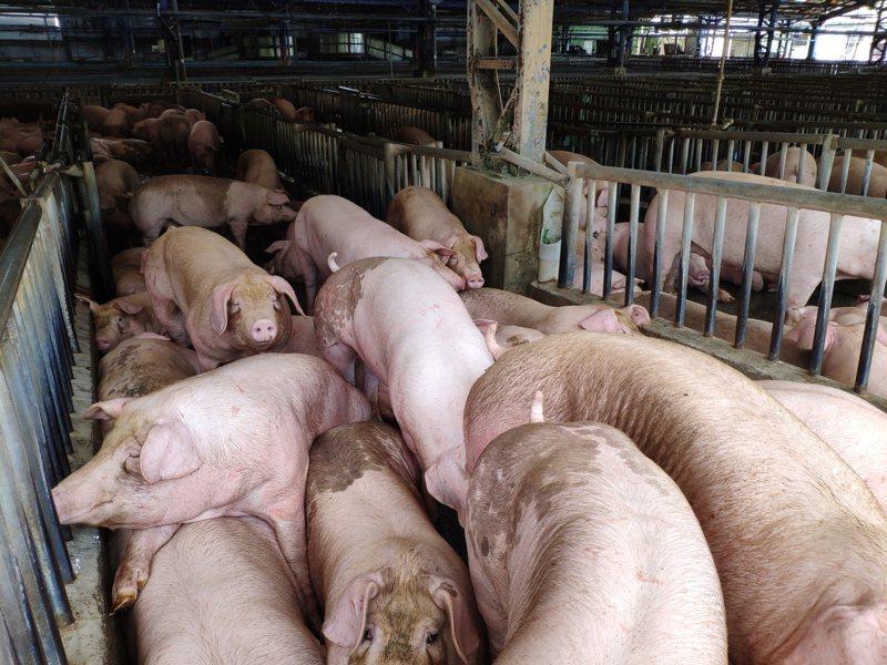 蔡英文總統解禁美豬牛,但美國在台協會(AIT)前理事主席卜睿哲對美台經貿進展感到悲觀。本報資料照