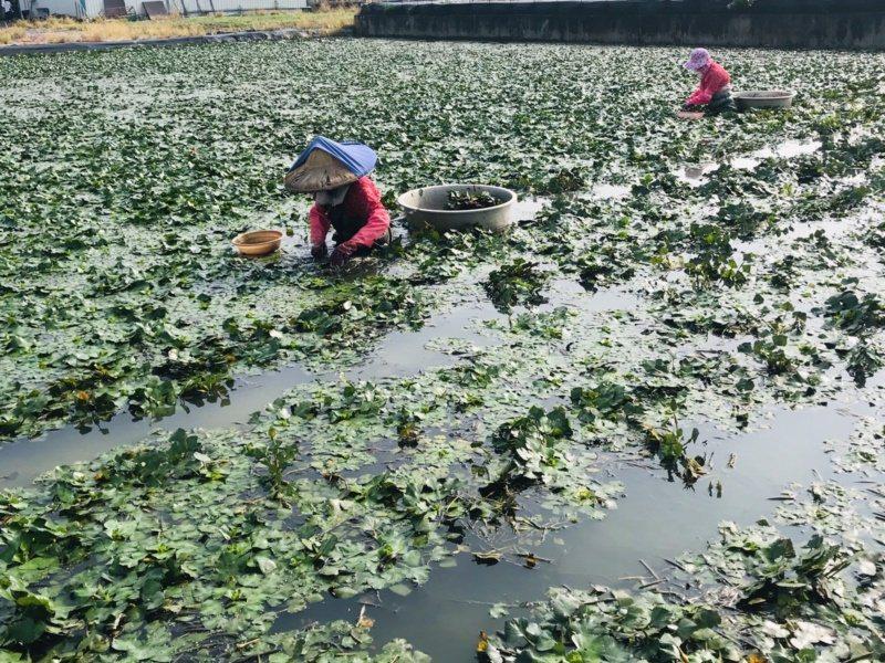 秋風起,台南官田菱角不時可見菱婦忙碌採菱。 圖/台南市政府觀旅局提供