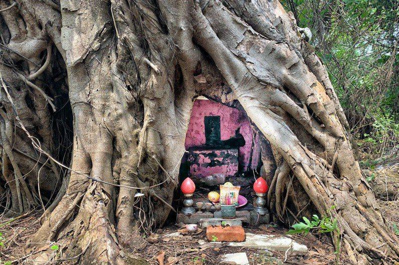 台南「松王公」小廟被樹幹包住,香火不斷。記者吳淑玲/攝影