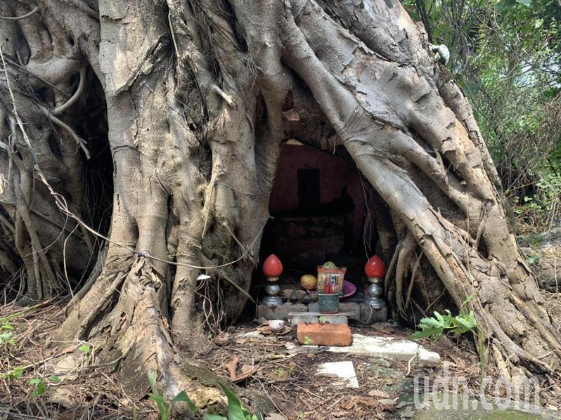 台南新化唪口早年俗稱烏桕部落的「松王公」已被樹幹包覆。記者吳淑玲/攝影