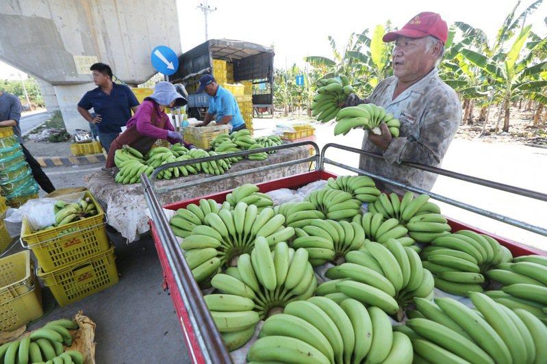 農政單位認為,目前香蕉價格不穩,應是短暫現象,因為農曆七月怕「招你來」諧音,很多民眾不敢買香蕉,過陣子就會改善。記者劉學聖/攝影
