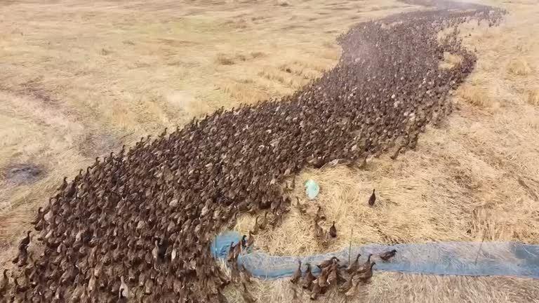 近萬隻鴨子湧入稻田,場面就像非洲動物大遷徙一樣壯觀。路透